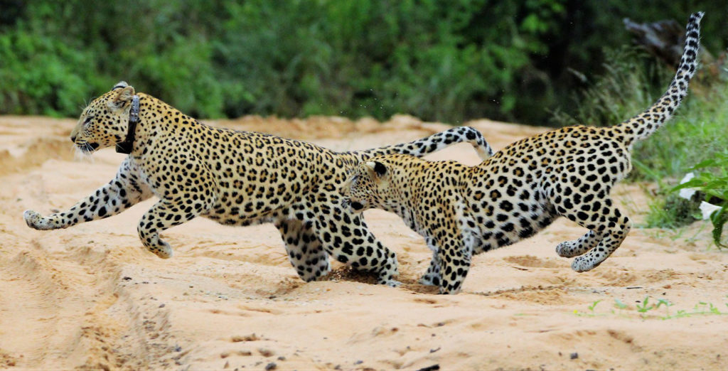 AfriCat UK leopards running through a dry river bed