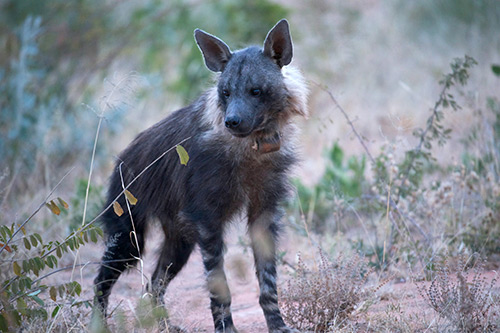 collared brown hyena in one of AfriCat's research studies