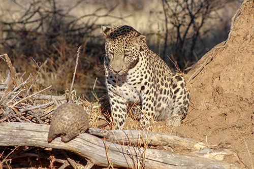 leopard and pangolin research at AfriCat