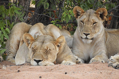 lions relaxing under a tree in Namibia