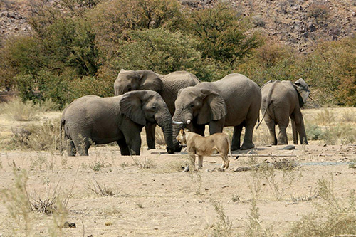 elephants and lion at a water hole Africa