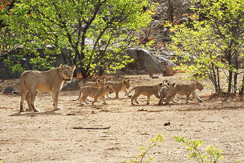 Lion cubs being monitored by The Namibian Lion Trust