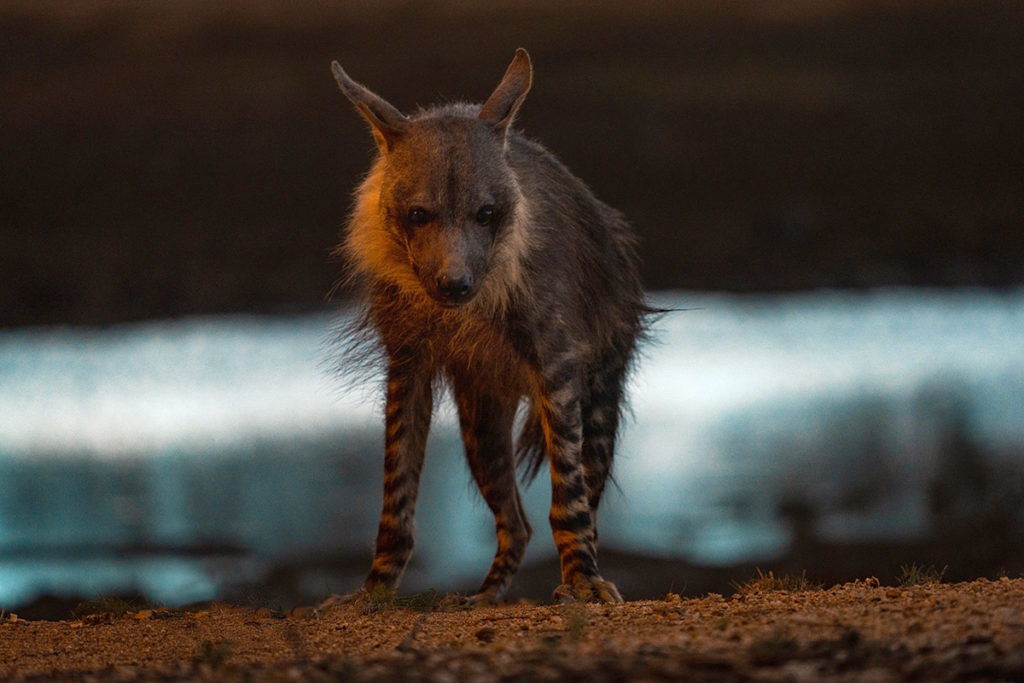 brown hyena in the Okonjima Nature Reserve