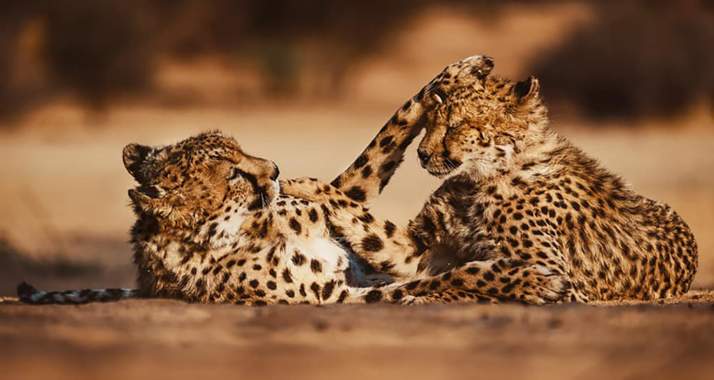 two cheetah's playing together in the Okonjima Nature Reserve